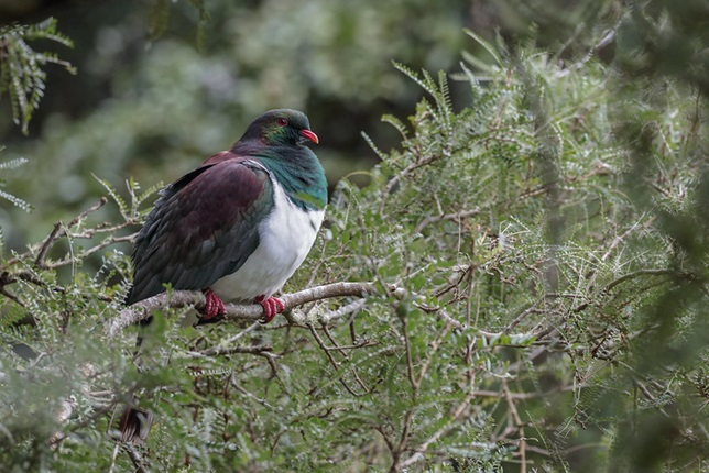 Image of a kererū in a tree credit to Tony Stoddard