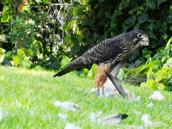 A rare kārearea (NZ falcon) gorging on a pigeon in a grassy central Wellington park, surrounded by feathers.