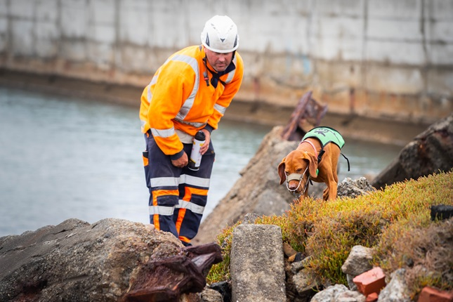 Image of Mena and her handler searching for penguins at Cobham Drive work site