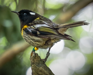 Image of hihi stitchbird as part of the Bird of the Year 2020 campaign