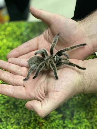 Dave Laux holds Rosie the Chilean rose tarantula.