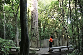 Kiri Andrews in her bright orange work top looking up at a giant tree from a viewing platform in a forest in Otari Wilton's bush.