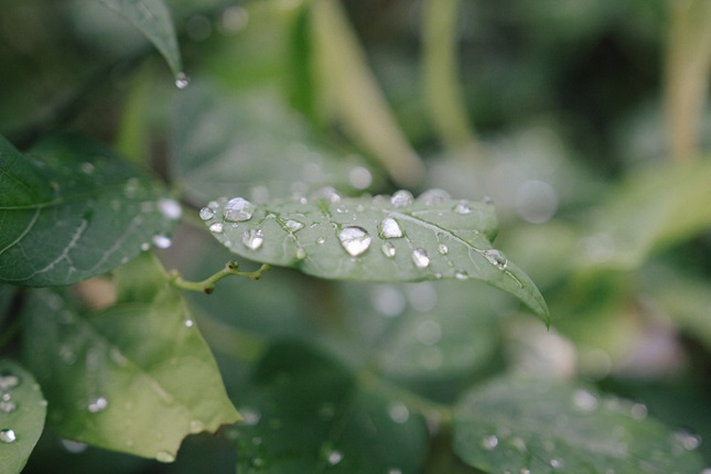 A close-up of a leaf with rain droplets on it, with the rest of the bush blurred in the background.