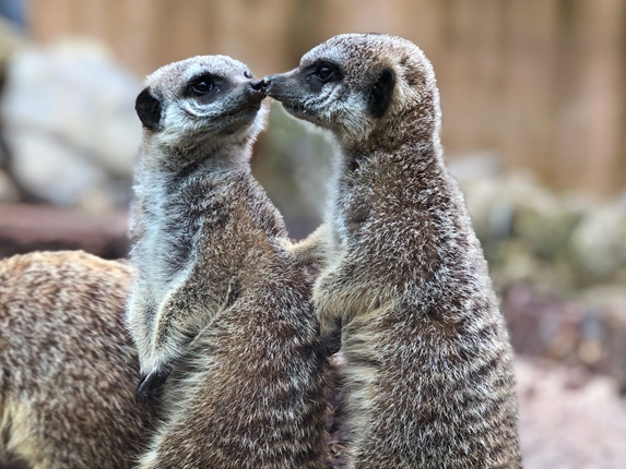 Two meerkats kissing at the Zoo.